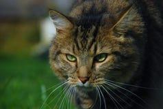 Wilde Katze Stockfoto