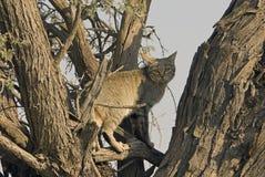 Wilde Katze des afrikanischen Graus lizenzfreie stockfotos