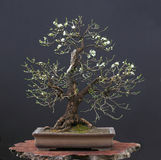 Wilde kers als bonsai in de lente Royalty-vrije Stock Foto's