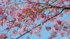 Wilde kersenbloem stock videobeelden