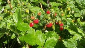 wilde kleine Erdbeere Stockbild