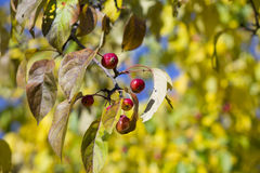 Wilde kleine rote Äpfel auf Herbsthintergrund stockbild