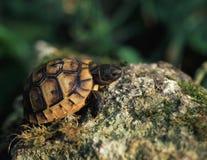 Wilde kleine Schildkröte draußen Stockfotos