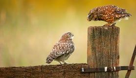 Wilde kleine uilen Royalty-vrije Stock Foto's