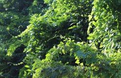 Wilde klimplantinstallaties Stock Foto