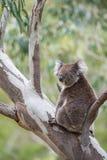 Wilde Koala in Gomboom dichtbij Adelaide, Zuid-Australië Stock Fotografie
