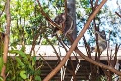 Wilde koala's op een boom in een groen park in Australi? stock foto's