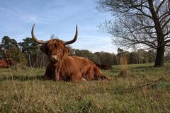 wilde koe Obrazy Stock