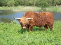 Wilde koe Royalty-vrije Stock Afbeelding