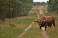 Wilde koe in nationaal park in Nederland Royalty-vrije Stock Afbeeldingen