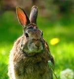 Wilde konijnclose-up Royalty-vrije Stock Afbeeldingen