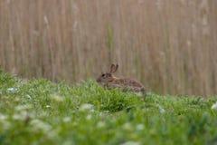 Wilde konijnzitting in het gras Zuid-Engeland Selectieve nadruk royalty-vrije stock afbeeldingen