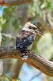 Wilde Kookaburra - Achtermening Stock Afbeeldingen
