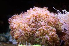 Wilde Korallen von einem tiefen Ozean Stockfoto