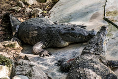 Wilde Krokodil-Reptil-wild lebende Tiere stockbild
