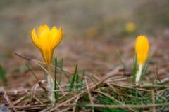 Wilde krokusbloemen Royalty-vrije Stock Afbeeldingen