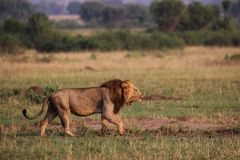 Wilde Löwen in der Steppe von Afrika Uganda lizenzfreie stockfotos