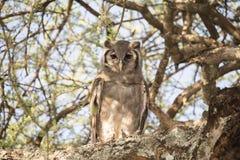 Wilde lacteus van Verreaux ` s Eagle-Owl Bubo in een Boom in Tanzania royalty-vrije stock foto's