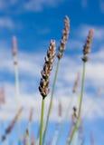 Wilde lavendar tegen blauwe hemel Stock Foto's
