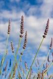 Wilde lavendar tegen blauwe hemel Stock Foto