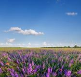 Wilde lavendel Stock Foto's