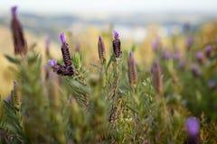 Wilde lavendel bij zonsondergang in Algarve, Portugal royalty-vrije stock foto's