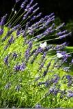 Wilde lavendel en vlinders royalty-vrije stock foto's