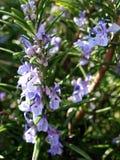 Wilde Lavendelanlage Lizenzfreie Stockfotografie