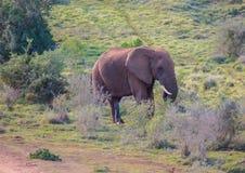 Wilde lebende afrikanische Elefanten bei Addo Elephant Park in Südafrika Lizenzfreies Stockbild