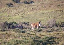 Wilde lebende Elenantilope bei Addo Elephant Park in Südafrika Lizenzfreie Stockfotos