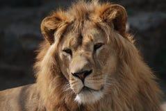 Wilde leeuw Royalty-vrije Stock Foto's