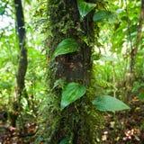 Wilde Lianeanlage, die im tiefen moosigen tropischen Regenwald wächst Lizenzfreie Stockbilder