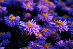 Wilde lilac chrysant stock foto