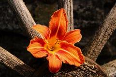 Wilde Lilie auf dem alten hölzernen Rad Stockfotografie