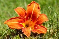 Wilde Lilie auf dem Gras Lizenzfreies Stockbild