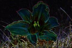 Wilde Lilie der mysteriösen Glänzenblüte Lizenzfreie Stockfotos