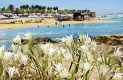 Wilde Lilie, die auf Sanddünen wächst Lizenzfreies Stockfoto