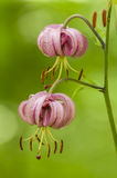Wilde Liliumblumen Stockbild