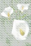 Wilde lillies 2 Stockfotografie