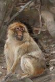Wilde männliche Barbary-Makaken-Affenahaufnahme Lizenzfreie Stockfotografie