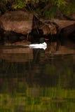 Wilde männliche geläufige Merganser-Schwimmen durch Ufer Stockbilder