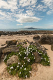 Wilde madeliefjes op Takapuna-strand Royalty-vrije Stock Foto