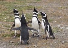 Wilde Magellanic-Pinguïnen royalty-vrije stock afbeelding