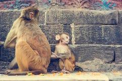 Wilde Makakenaffen Stockfoto