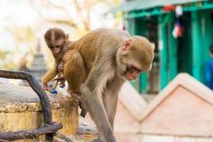 Wilde Makakenaffen Stockbilder
