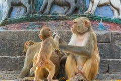 Wilde Makakenaffen Lizenzfreie Stockfotos