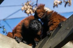 Wilde maki in Madagascar in Afrika stock foto
