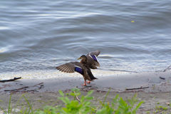 Wilde mallard duck. Spreading wings on the bank of the river Royalty Free Stock Images