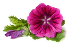 Wilde Malve der vibrierenden Blume mit einer Knospe lokalisiert Stockfotografie