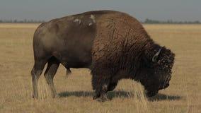 Wilde Mannelijke Amerikaanse Buffelsstappen stock video